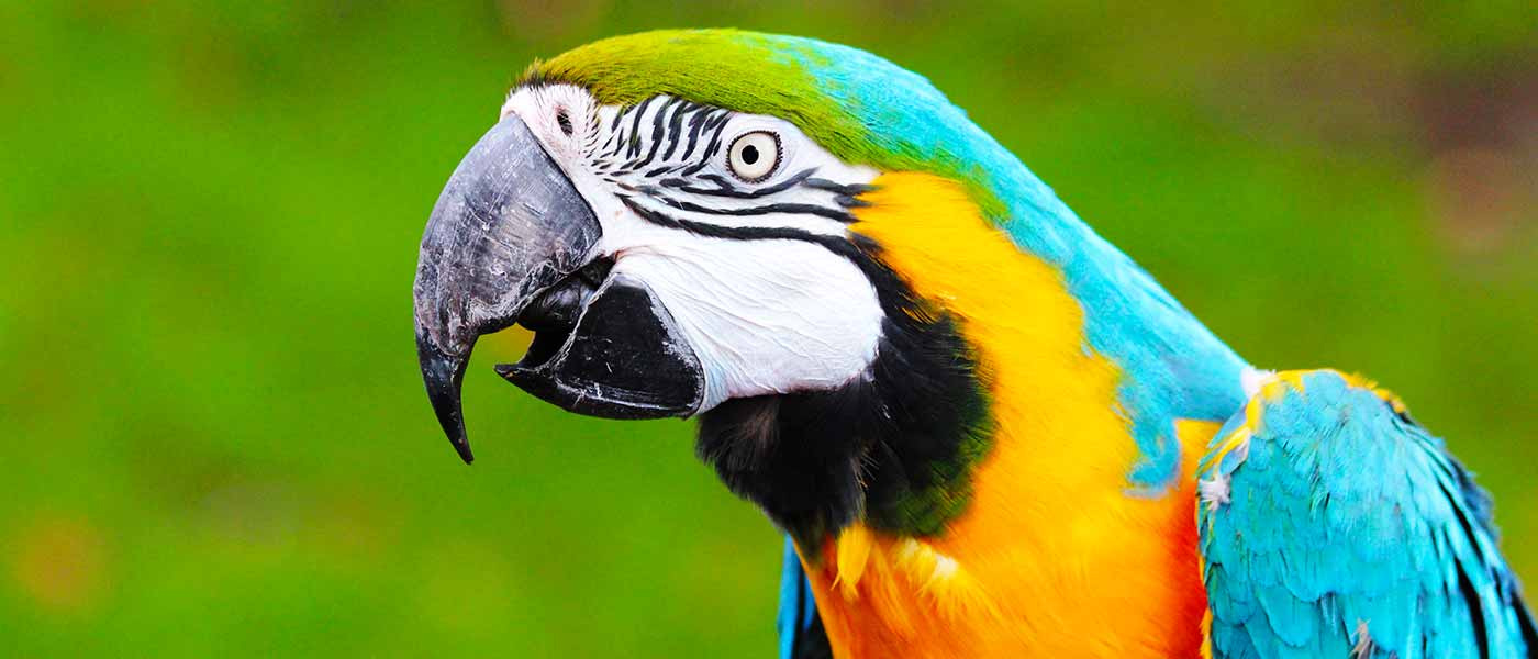 Chessington Macaw