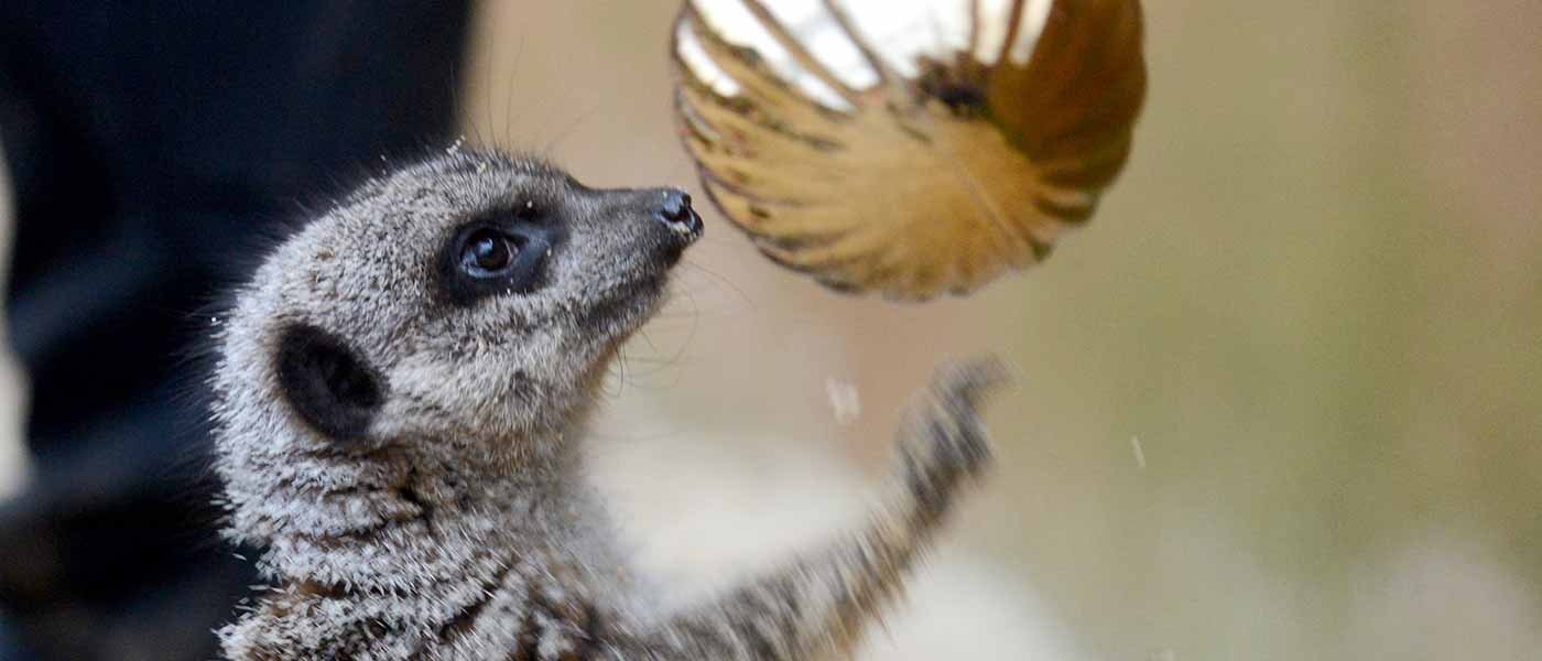 Christmas Meerkat at Chessington Resort